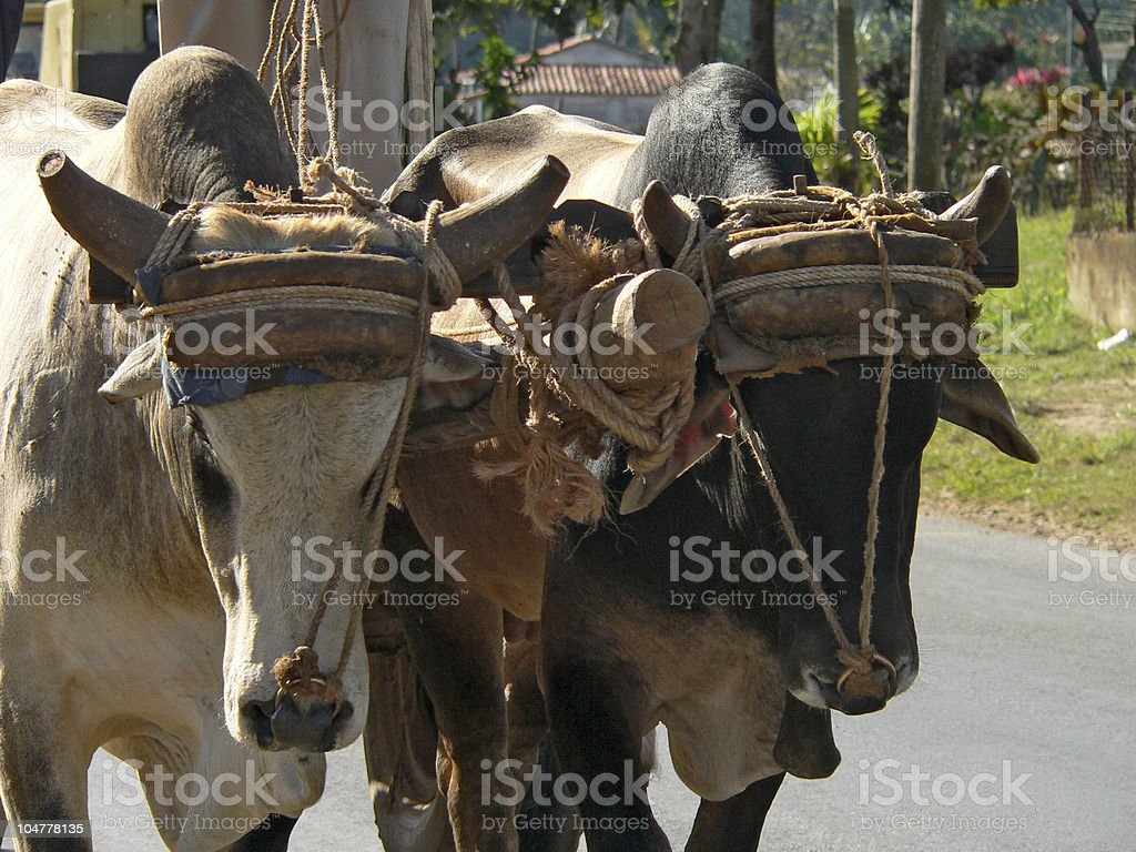 Team of oxes in Valle de Vinales, Cuba royalty-free stock photo
