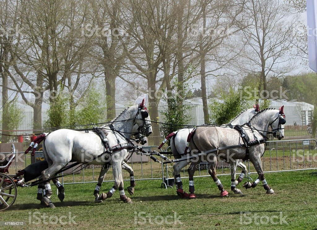 Team of Percheron Horses Running. Copy Space stock photo