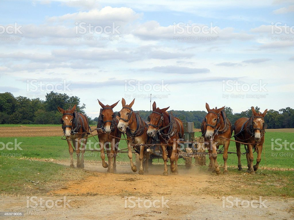Team of Six Mules Pulling Wagon stock photo