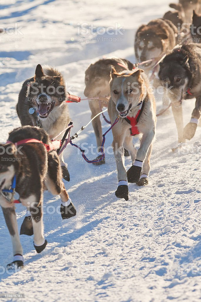 Team of sleigh dogs pulling royalty-free stock photo