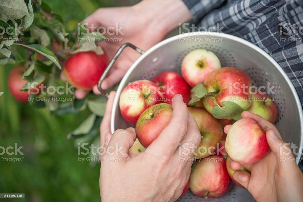Teamwork - 3 People Picking Apples stock photo