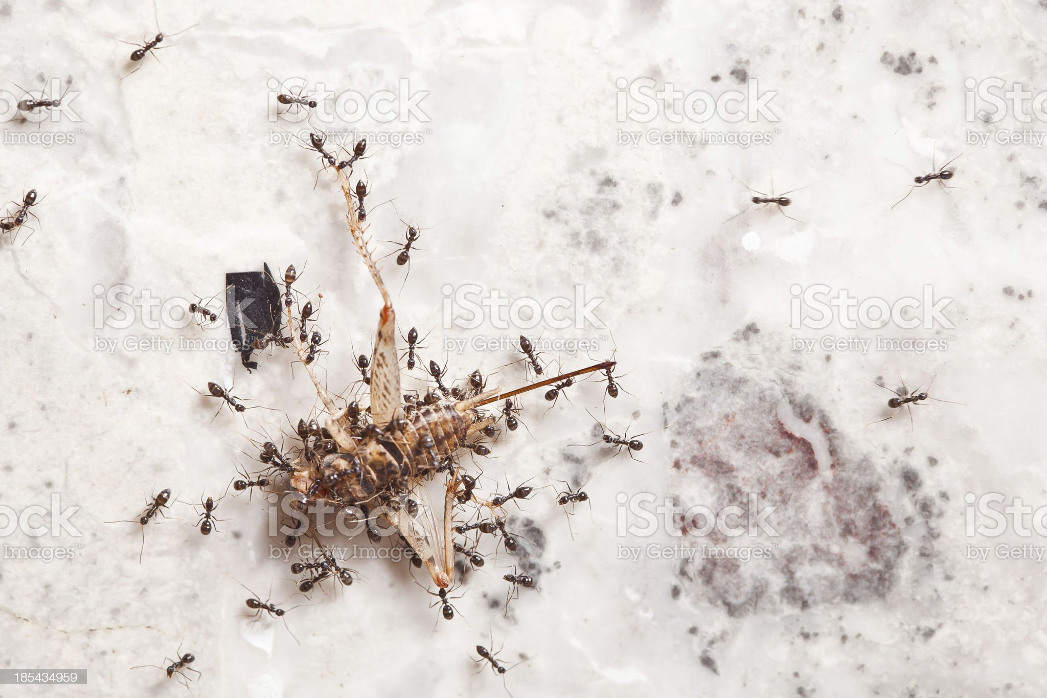 Teamwork of Ants royalty-free stock photo