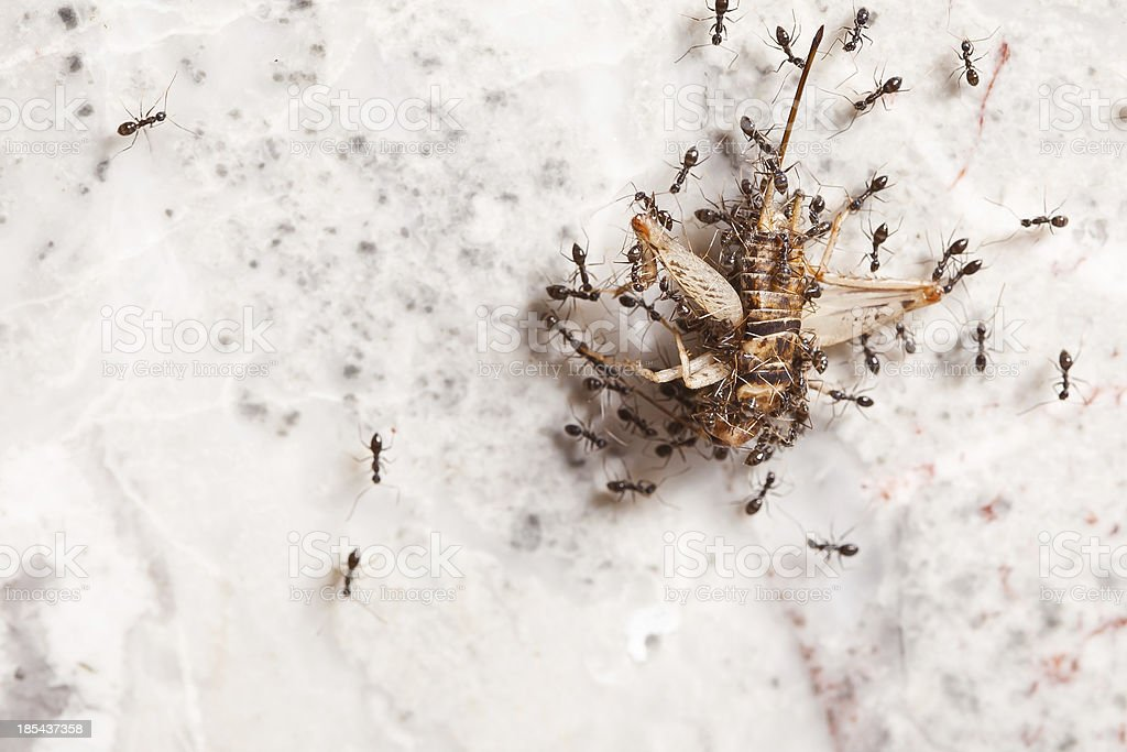 Teamwork of Ants royalty-free stock photo