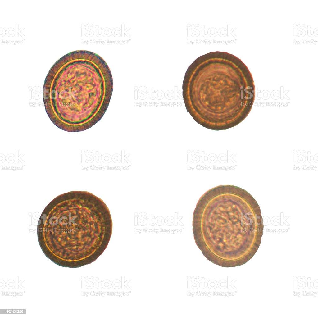 teania parasite. stock photo