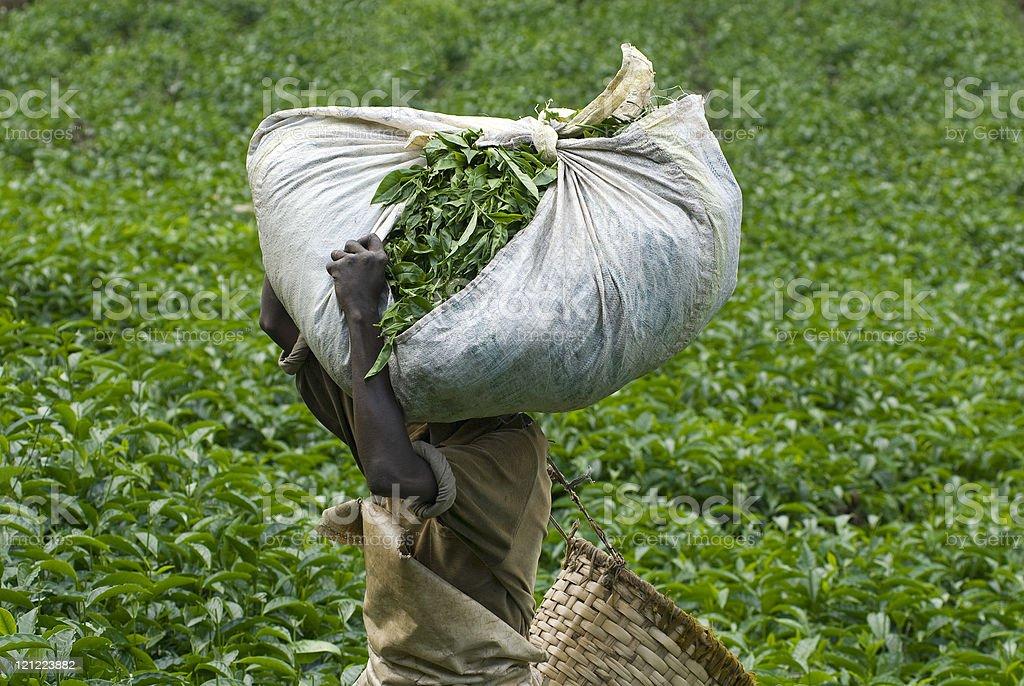 Teapicker carrying a heavy load of tea royalty-free stock photo