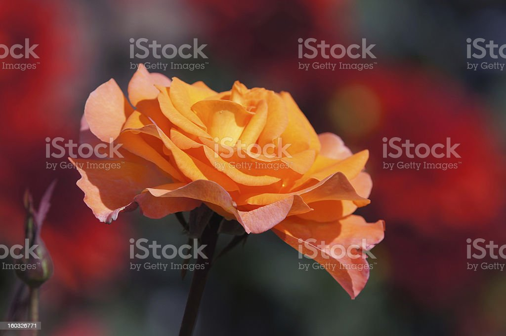 Tea-rose royalty-free stock photo