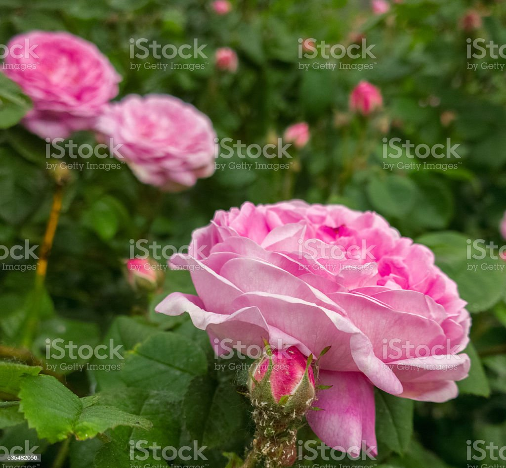 Tea-rose. stock photo