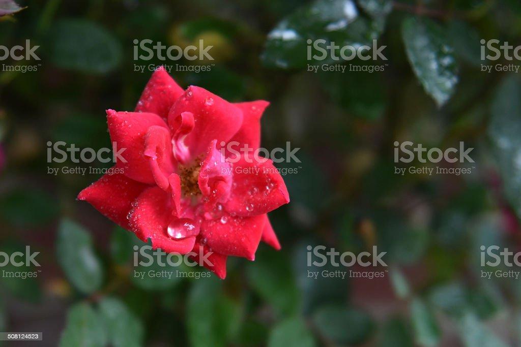 Lágrimas de la Rosas foto de stock libre de derechos