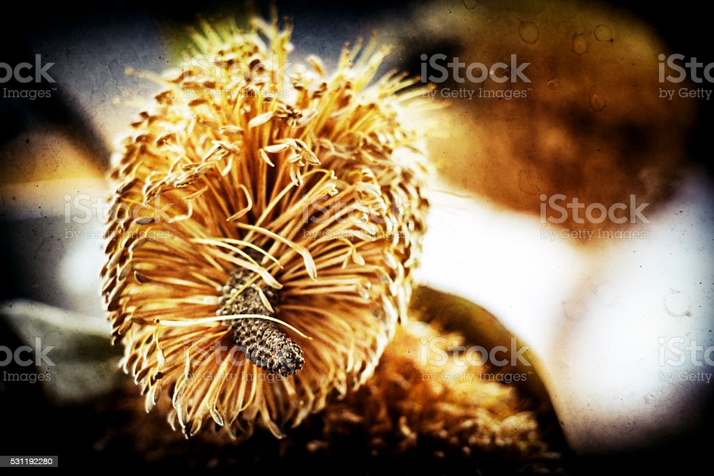 Teasel, Dipsacus fullonum stock photo