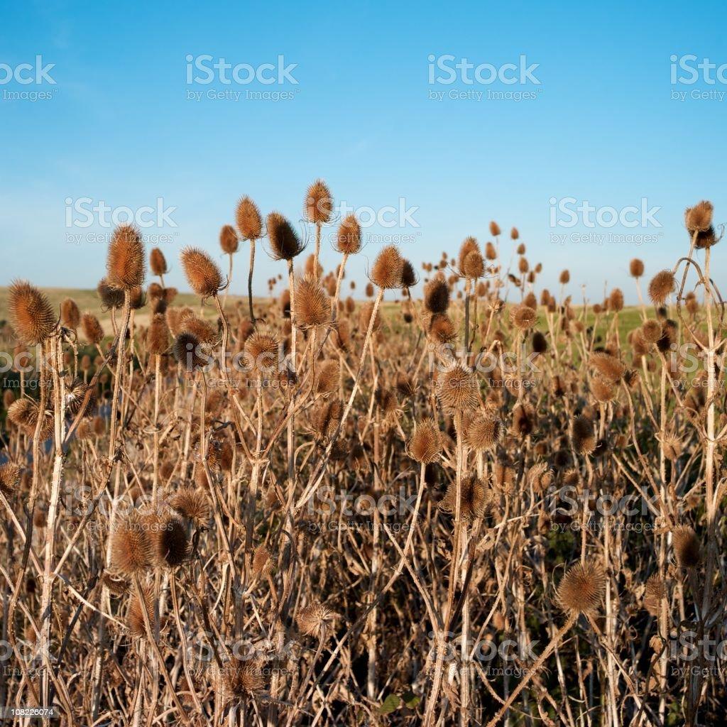 Teasel Flowers in Field stock photo