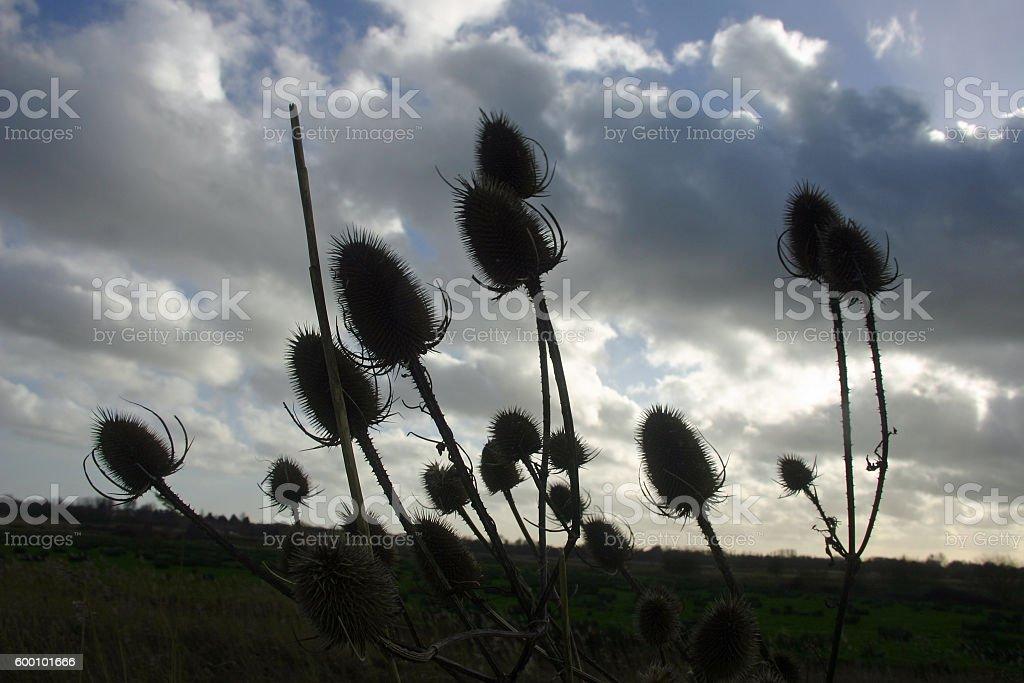 Teasel seed heads stock photo