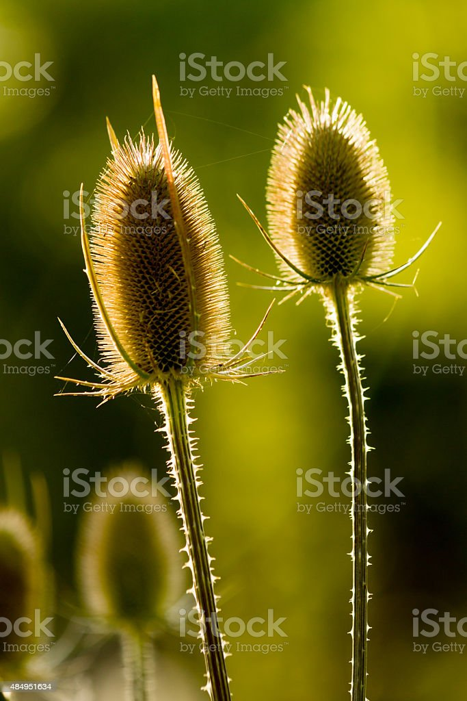 Teasel with backlight. stock photo