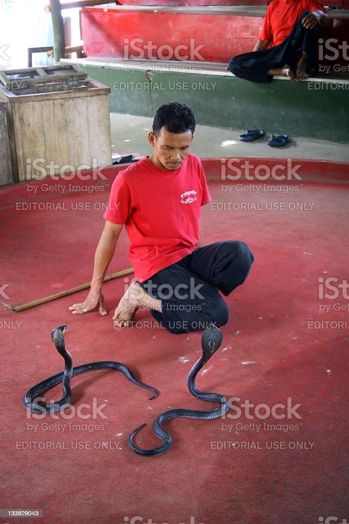 Teasing Cobra snakes stock photo