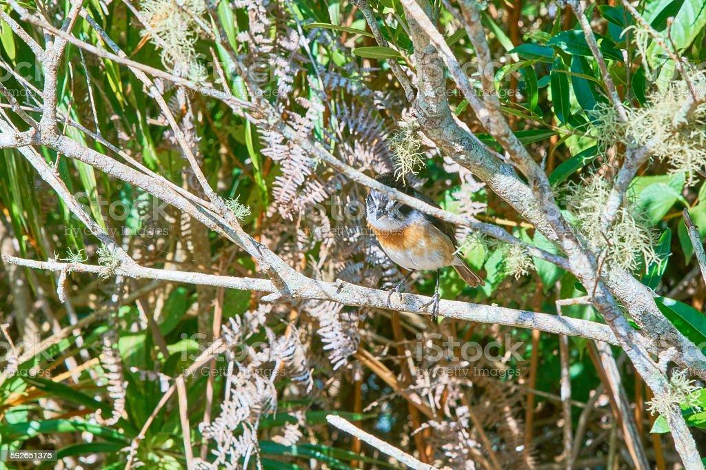 Tec Tec Bird in la Reunion Island stock photo
