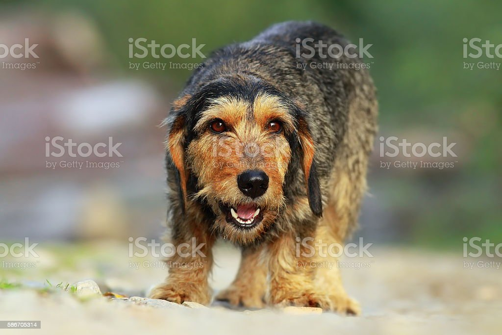 teckel breed stock photo