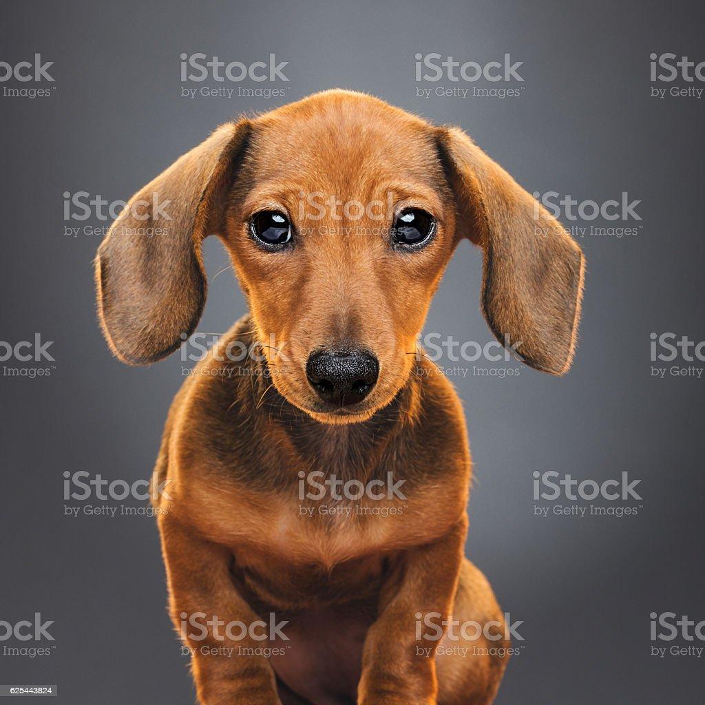 Teckel puppy dog portrait stock photo