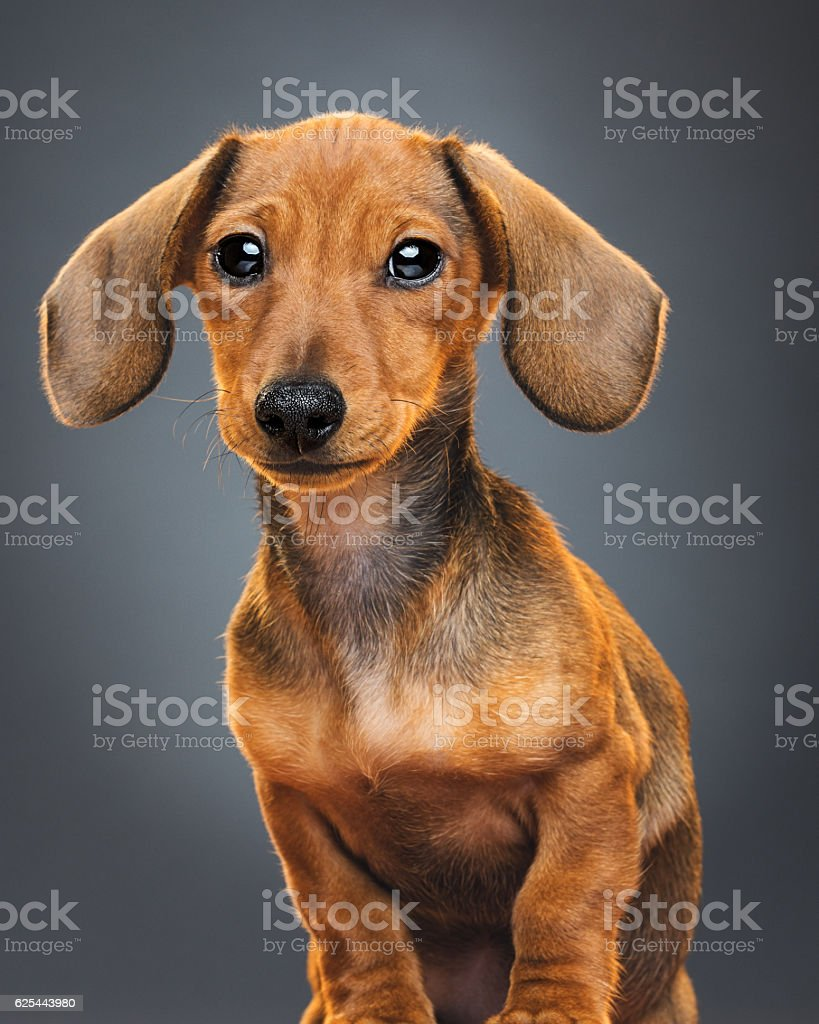 Teckel puppy dog portrait stock photo
