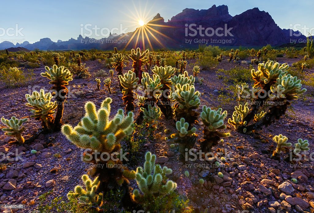 Teddy Bear Cholla Cactus at Sunset in Arizona Desert stock photo