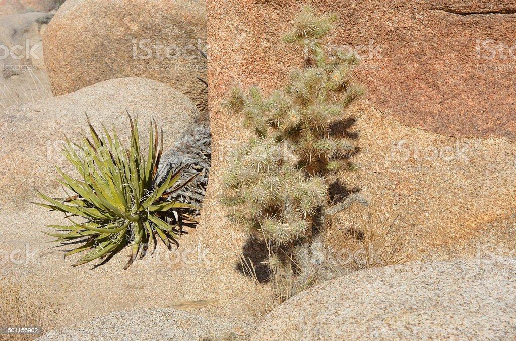 Teddybear Cholla Cactus and Mohave Yucca, Joshua Tree National Park royalty-free stock photo