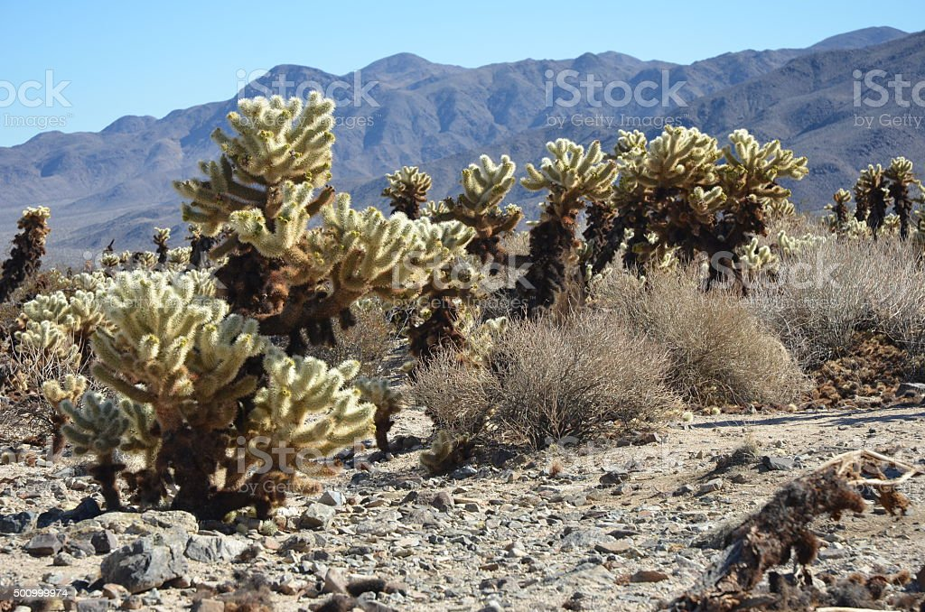 Teddybear Cholla (Cylindropuntia bigelovii) Cactus in Joshua Tree National Park royalty-free stock photo