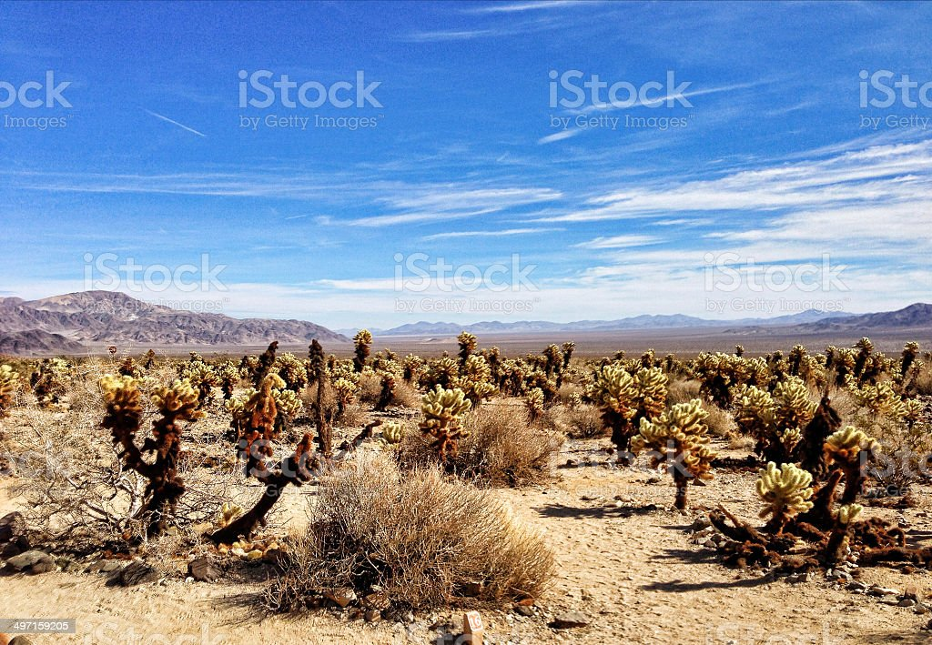 Teddy-Bear Cholla Cactus in Mojave Desert. royalty-free stock photo