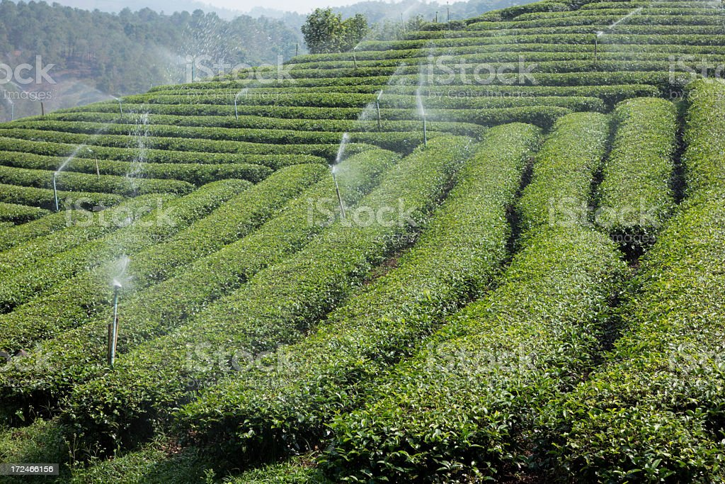 Tee plantation being irrigated. royalty-free stock photo