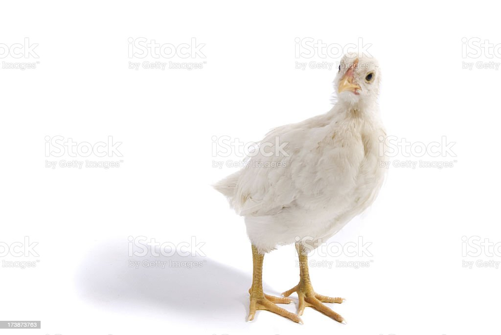 Teenage Chicken royalty-free stock photo