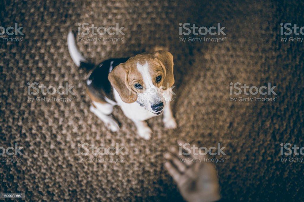 Teenager boy and beagle playing/training stock photo