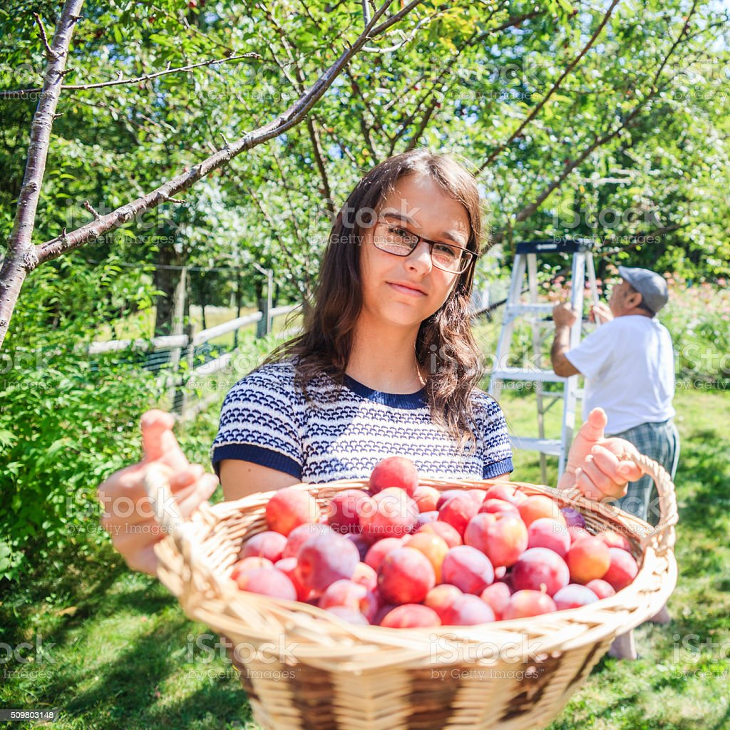 Teenager girl and senior man gathers plums from a tree stock photo