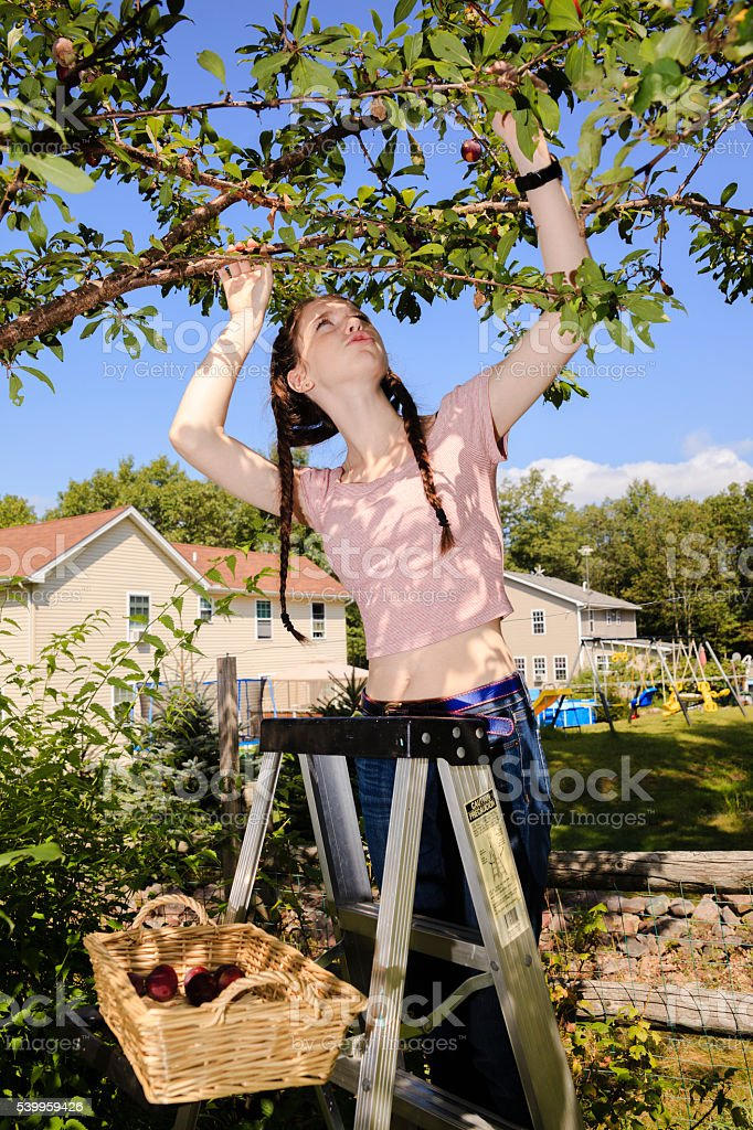 Teenager girl gathers plums from a tree stock photo