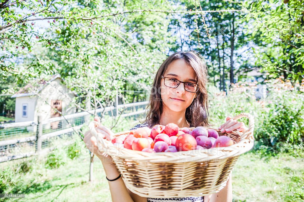 Teenager girl with full basket of plums from a tree stock photo