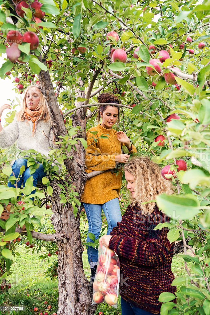 Teenagers with mother picking apples in orchard, autumn. stock photo