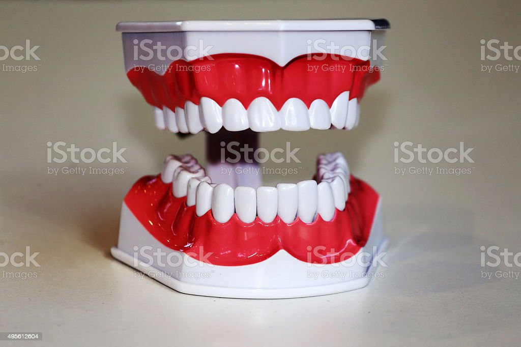 Teeth anatomical model stock photo