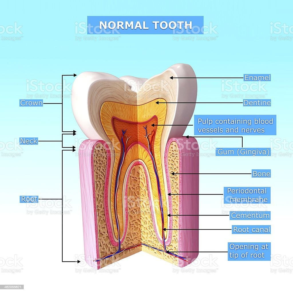 teeth anatomy stock photo