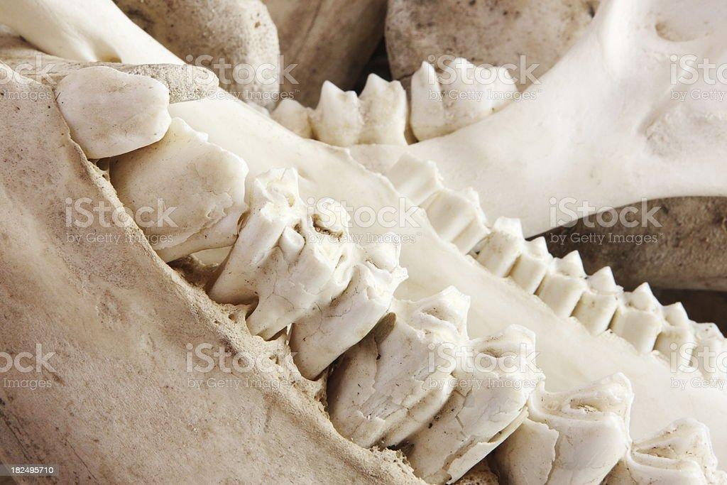 Teeth Animal Jaw Bone Molars stock photo
