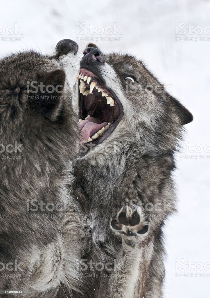 Teeth bared number one royalty-free stock photo