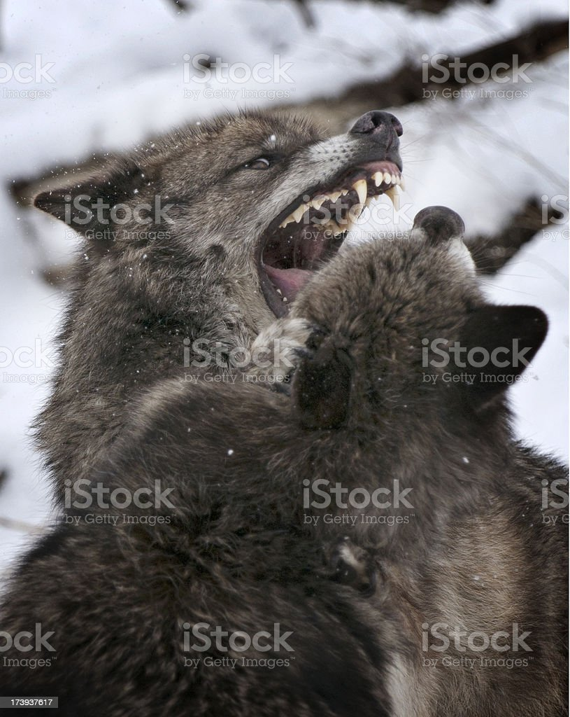 Teeth bared number two royalty-free stock photo