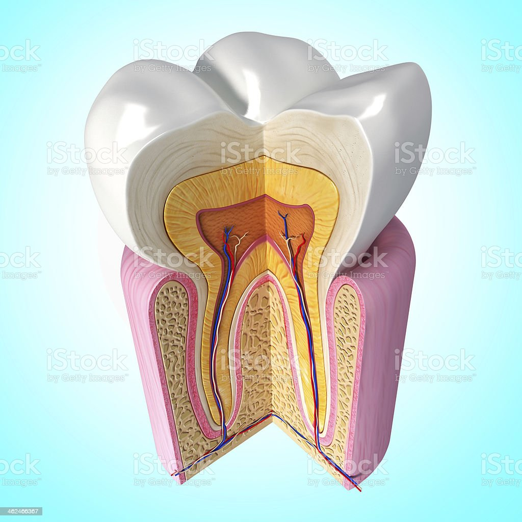 teeth cut section in blue stock photo