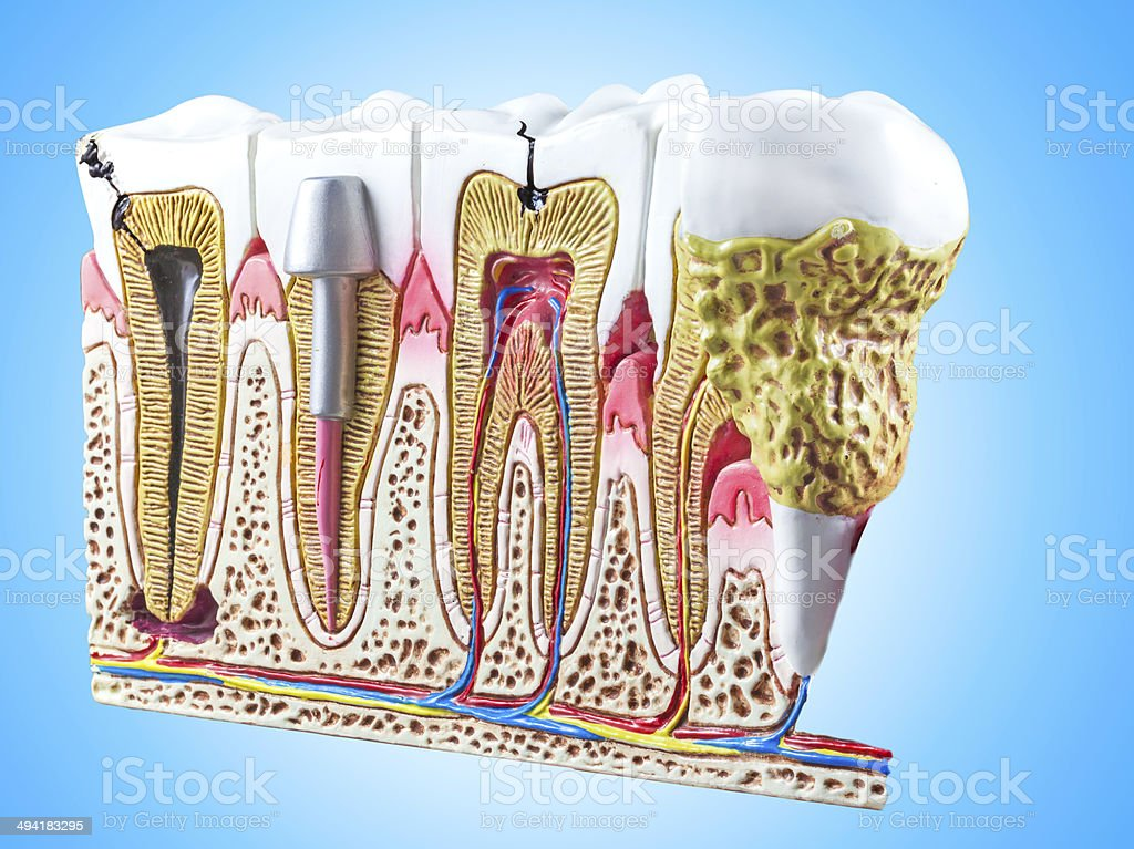 Teeth, dental section model. stock photo
