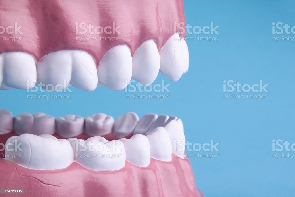 Teeth model detail royalty-free stock photo