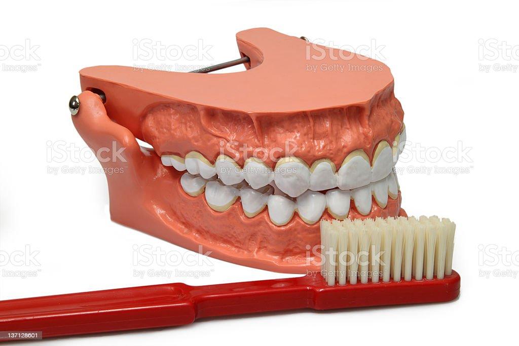 Teeth model stock photo