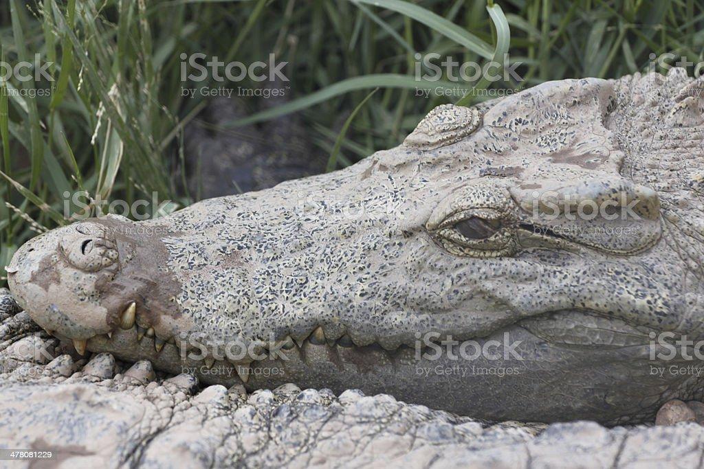 Teeth of the crocodile. stock photo