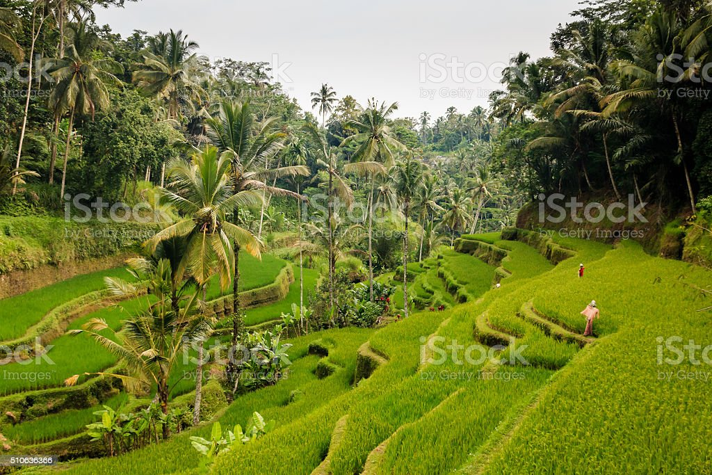 Tegalalang Rice terraces stock photo