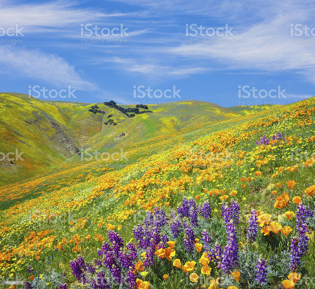 Tehachapi Mountains with Golden Poppies stock photo