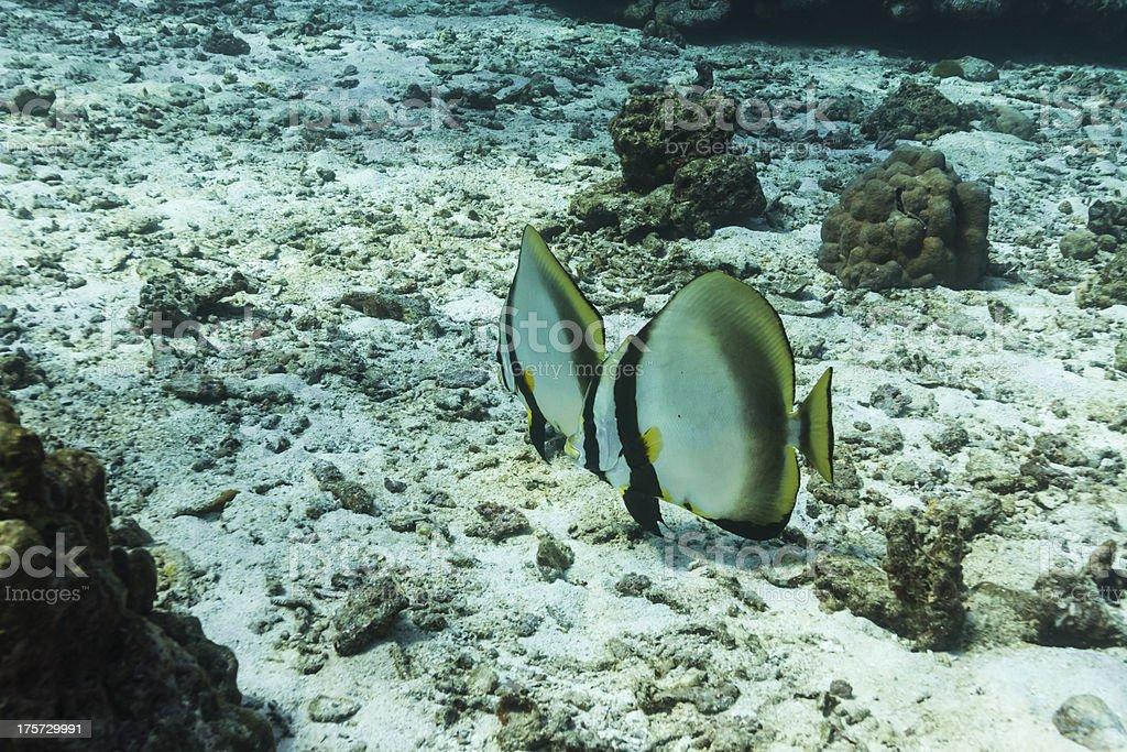 Teira batfish at Similan national park royalty-free stock photo