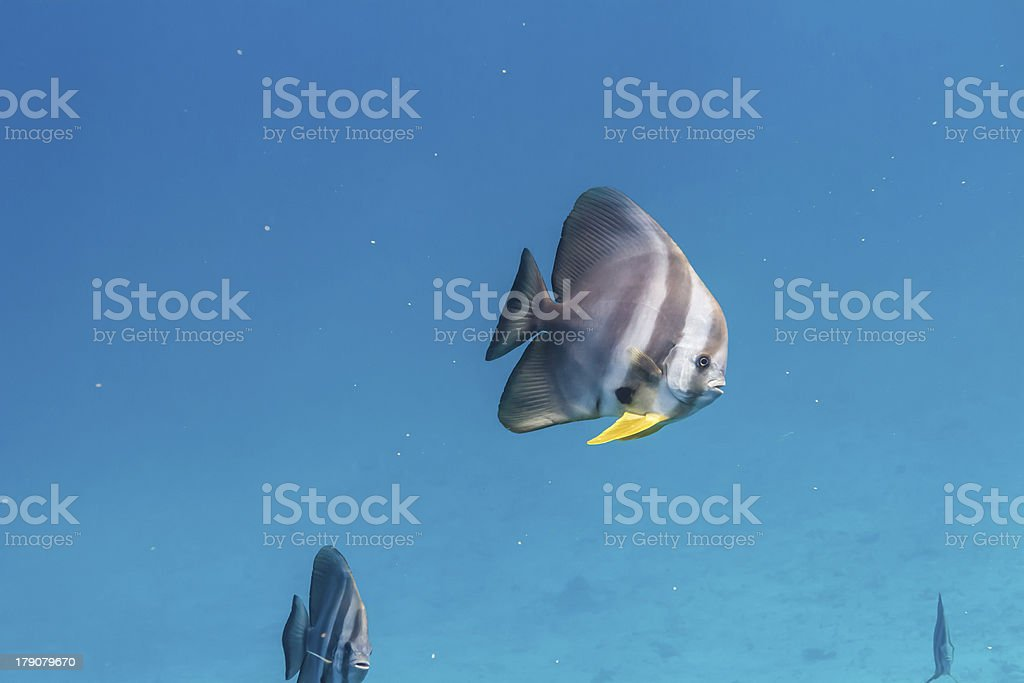 Teira batfish royalty-free stock photo