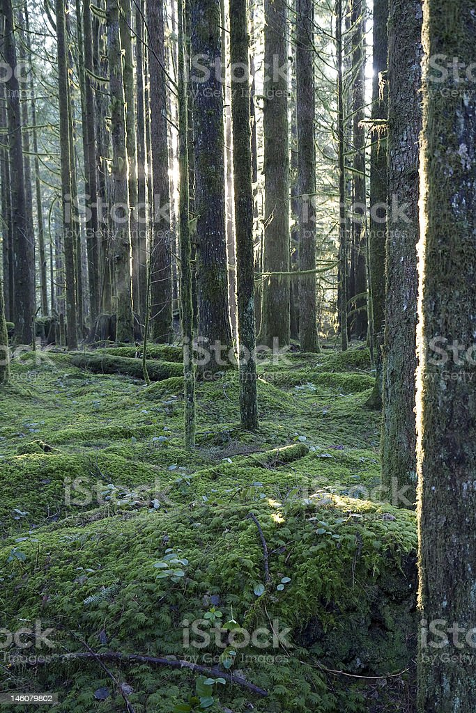 Temperate Rainforest Sunrays royalty-free stock photo