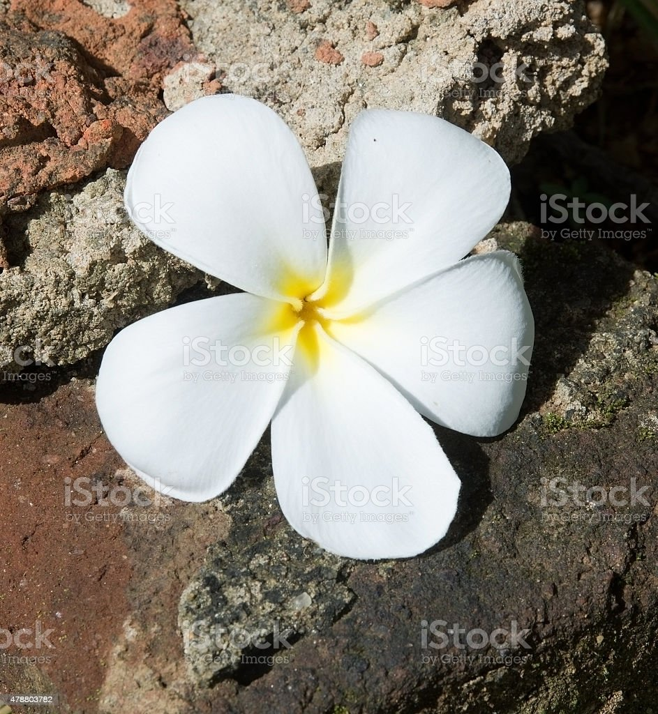 Temple Tree Flower stock photo