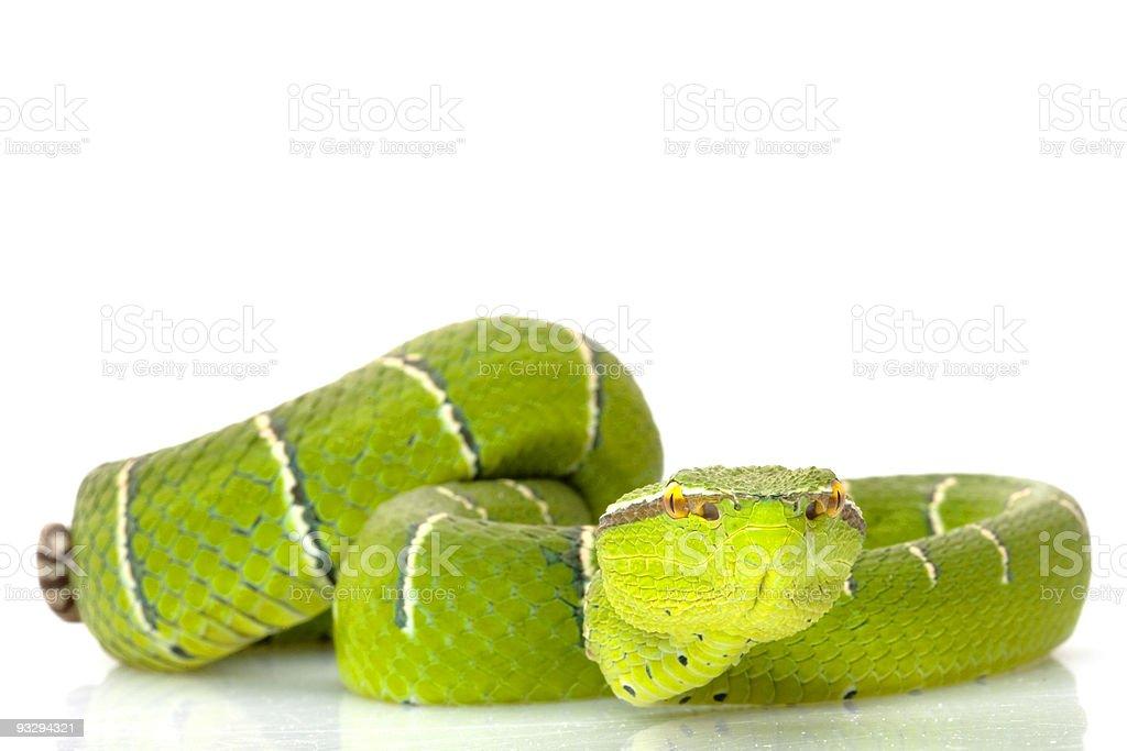 Temple viper stock photo