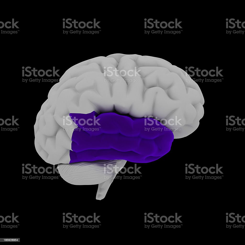 Temporal lobe - Human brain in side view royalty-free stock photo